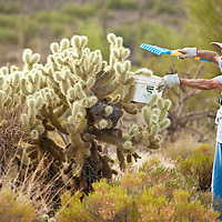 Jane collection Teddy Bear cholla tops in her bucket to revegitate those areas area in need due to habitat damage.