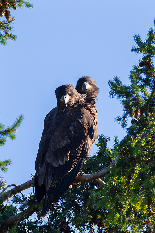 Two juvenile bald eagles (Haliaeetus leucocephalus), one of which had just made its first flight, sit together on a branch in Heritage Park, Kirkland, Washington.