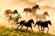 Horse (Equus caballus) herd running and kicking up dust