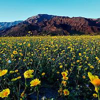 Death Valley Desert Bloom 2005