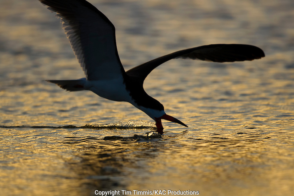 Black Skimmer, Rynchops niger, Bolivar Flats, Texas gulf coast, skimming at sunrise in silhouette, golden light, water splashing