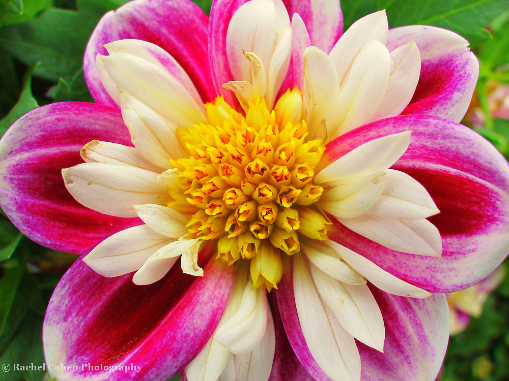&quot;The Beauty Within&quot;<br /> <br /> Wonderful multicolored Dahlia!! Pinks and white with a bright yellow center!!<br /> <br /> Flowers by Rachel Cohen