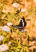 Lorquin's Admiral butterfly hovers over flowers in Lassen National Park California.
