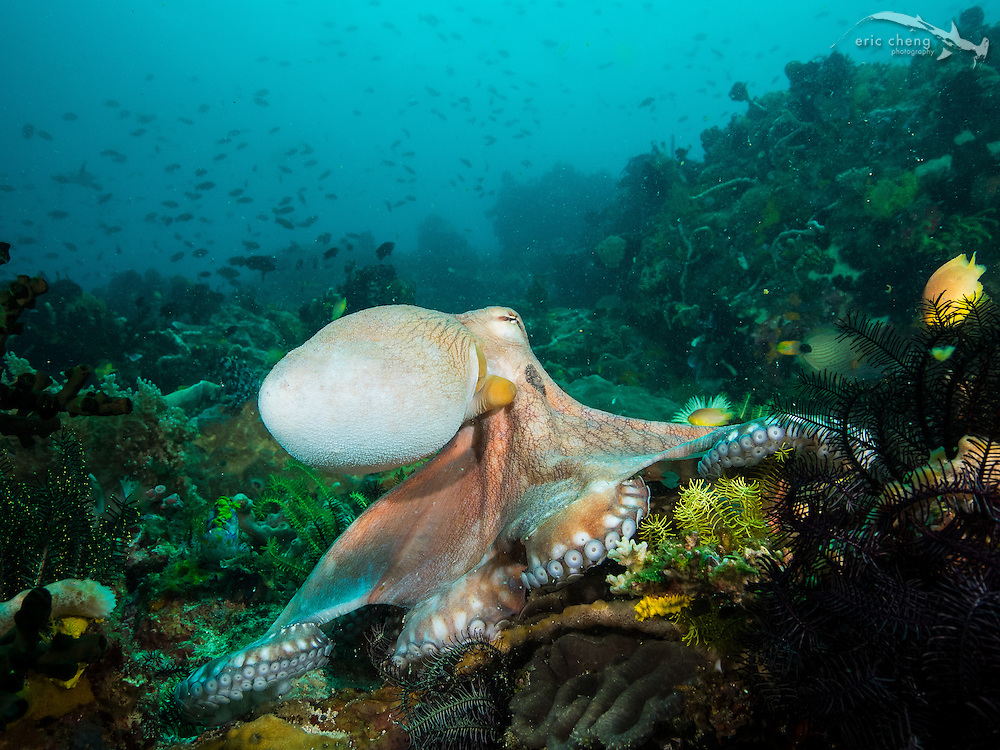 A day octopus (Octopus cyanea) feeds openly on the reef at Cannibal Rock in Horseshoe Bay, Komodo National Park, Indonesia.