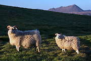 Sheep grazing at Lake Myvatn, northern Iceland