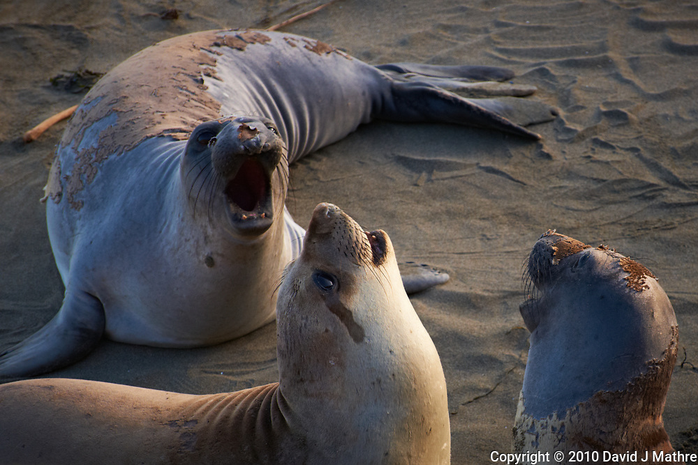 Elephant Seals at Piedras Blancas Beach, Central California Coast. Image taken with a Nikon D3x and 70-300 mm VR lens (ISO 400, 210 mm, f/8, 1/250 sec).