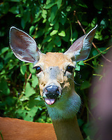 Doe with a Tumor on Her Neck (Papilloma Virus) - Backyard Summer Nature in New Jersey. Image taken with a Nikon D4 and 80-400 mm VRII lens (ISO 200, 400 mm, f/5.6, 1/400 sec).