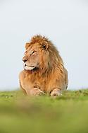 Male lion, Panthera leo, Masai Mara National Reserve, Kenya