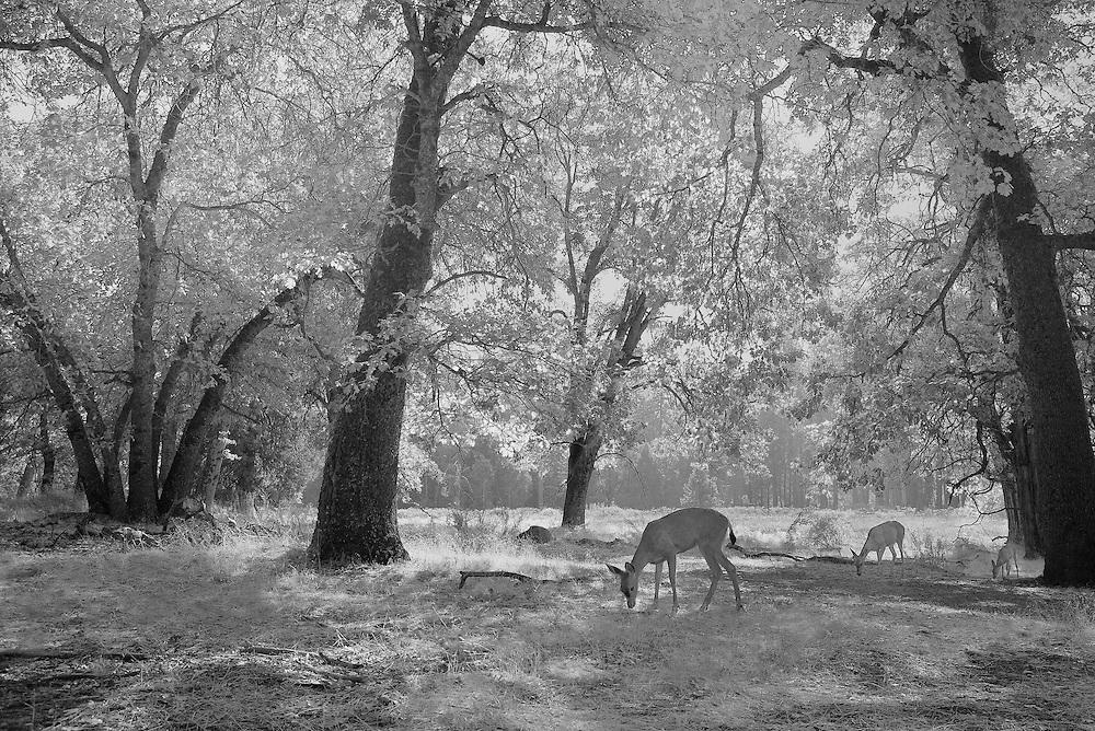 Grazing Family Of Deer Meadow Edge - Yosemite Valley - Infrared Black & White