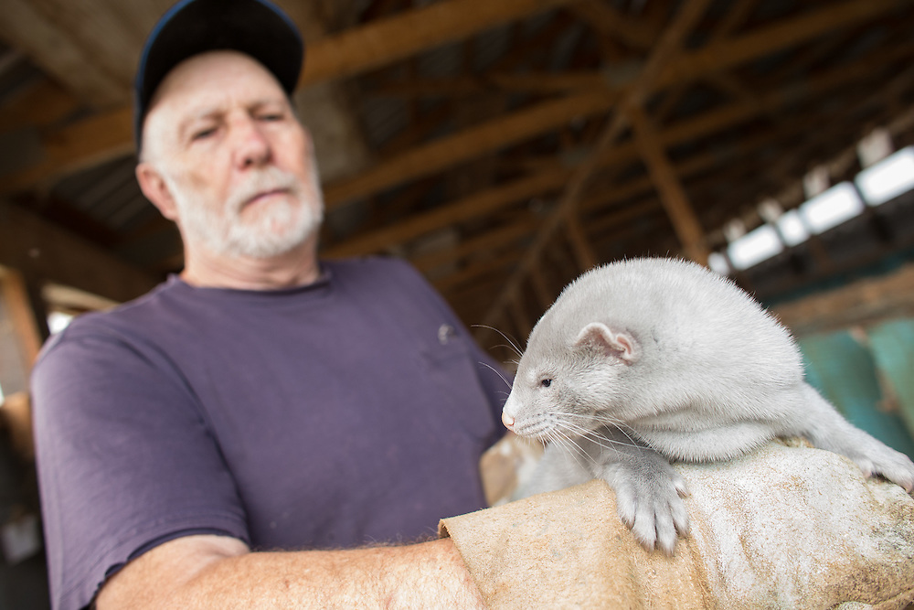 Kirk Rankin of R B R Fur Farms Ltd  shows one of his mink at his farm near St. Mary's Ontario, Tuesday, August 4, 2015. Intruders broke into his property on July 7, 2015 and released over 6000 of Rankin's mink . Several other area fur producers have also experienced similar break ins.<br /> Farmers Forum/ Geoff Robins