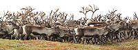 Villrein Forollhogna villreinområde, Wild reindeer