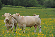 14/05/15 - RIAUCOURT - HAUTE MARNE - FRANCE - Elevage de bovins allaitants. Vaches CHAROLAISES - Photo Jerome CHABANNE