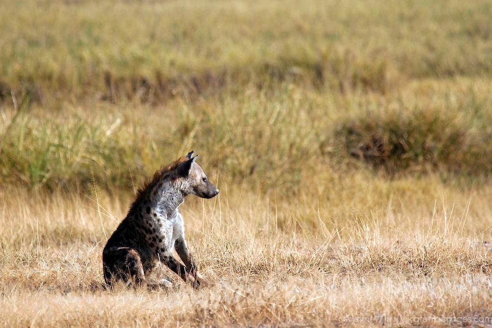 Africa, Kenya, Amboseli. Spotted Hyena.
