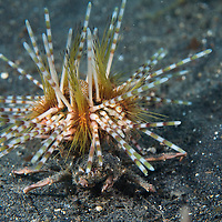Urchin carry crab, Dorippe frascone, carrying a double-spined urchin, Echinothrix calamaris, Lembeh, Sulawesi, Indonesia
