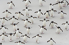 Rockhopper penguins | Felsenpinguine