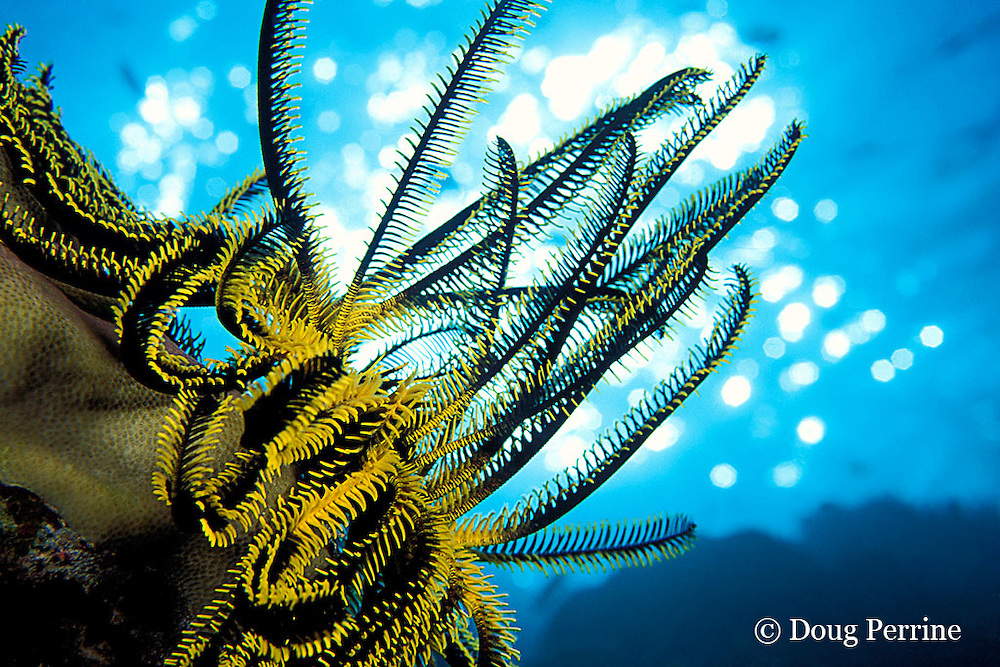 noble feather star or crinoid, Comanthina nobilis, Surin Islands, Thailand ( Andaman Sea, Indian Ocean )