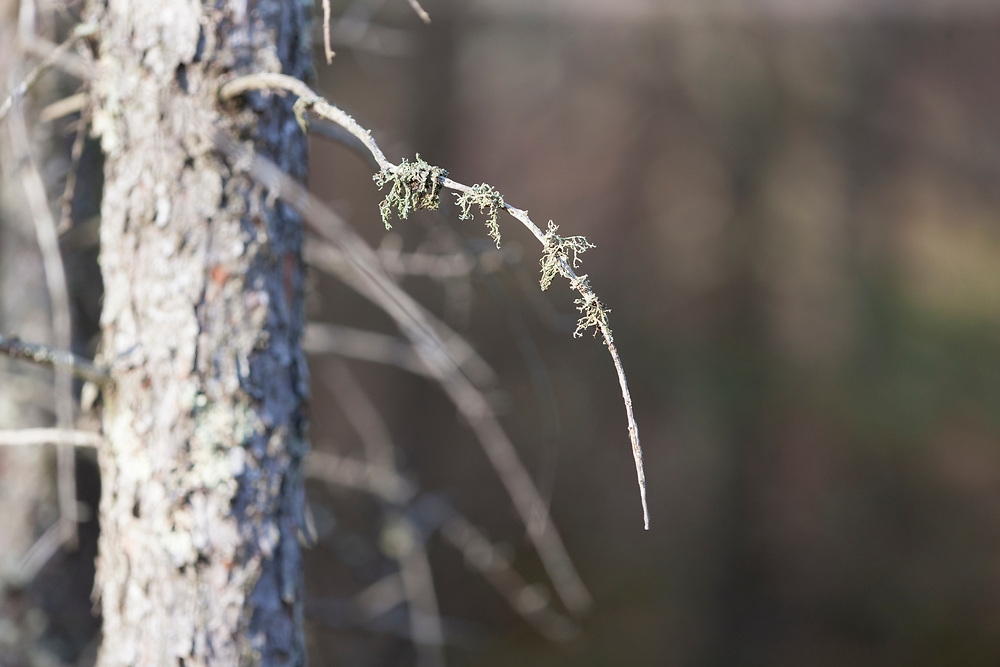 Fruticose lichen on tamarack branch