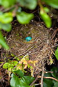 Song Thrush Pictures - Photos