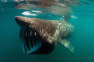 Basking shark, Cetorhinus maximus, feeding, showing gills slits and gill rakers