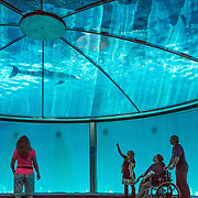 The Atlantic Bottlenose Dolphin (Tursiops truncatus) is also known as the Common Bottlenose Dolphin. Inside the Dolphin Pavilion, enter the 30-foot-diameter underwater viewing dome in the center of the main performance pool, wheelchair-accessible. Indianapolis Zoo, Indianapolis, Indiana, USA.