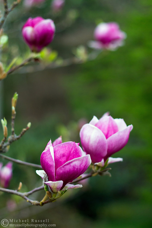 A Flowering Tulip Magnolia (Magnolia liliiflora) at a garden in British Columbia, Canada