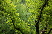 Early morning light on wet trees in Loagan Canyon