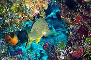 Bluestriped Grunt, Haemulon sciurus, Grand Cayman