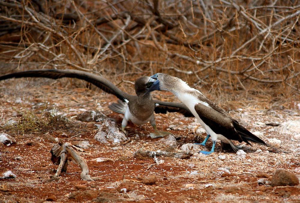 South America, Ecuador, Galapagos Islands, North Seymour Island. Blue-footed Boobies adult feeding young.