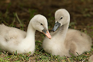 Cygnet Swans 3 weeks old