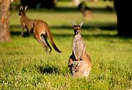 KANGAROES IN AUSTRALIE