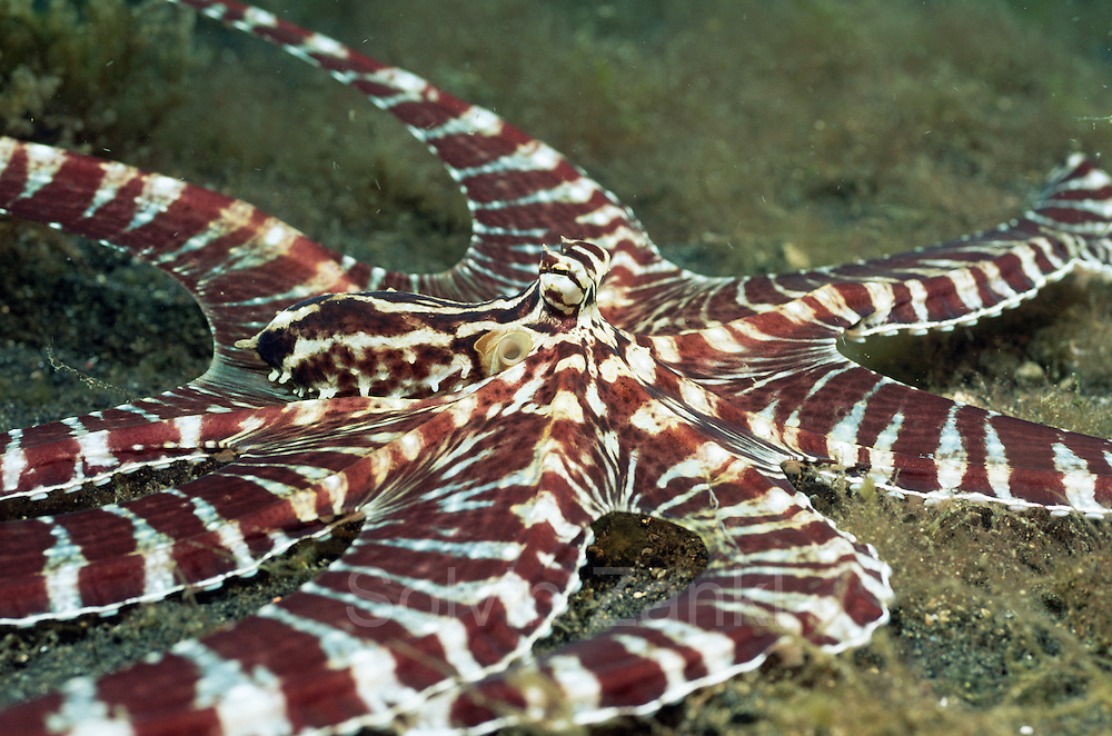 Mimic octopus on seabed {Octopus sp} (Octopoda) Lembeh, Sulawesi