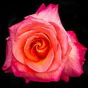USA, Maryland, Montgomery County. Mardi Gras floribunda rose at Brookside Gardens.
