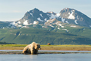 Alaskan Brown Bear, Ursus middendorffi, searching(fishing) for salmon,,  Katmai National Park, Alaska