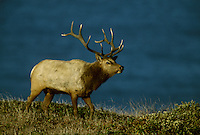 Tule elk (Cervus elaphus nannodes) are an endemic subspecies found only in California.  Point Reyes National Seashore.  Oct  2002.