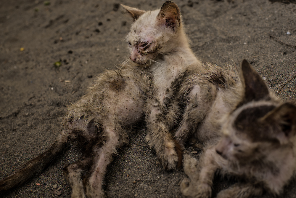 SANTA MARTA, COLOMBIA - January 25, 2014:  Kittens lie in the the sand at Milton Marquez's small farm on the beach near Drummond International's coal-loading port. The Marquez family says their fruit trees are covered in coal dust, and don't produce quality fruit like they did before Drummond became their neighbor. The family says several of their small animals have died, that their once white sand beach has darkened, and that pieces of coal regularly wash up onto their beach.  The Colombian government temporarily shut down Drummond's port operations on the northern coast near the tourist destination, Santa Marta, demanding that the company comply to environmental regulations that restrict the amount of coal dust released into the air. Meridith Kohut for The New York Times