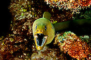 Green Moray Eel, Gymnothorax funebris, Ranzani, 1840, Grand Cayman