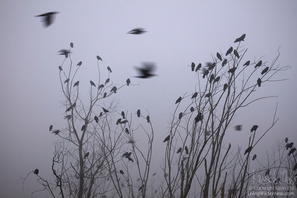 Several American crows (Corvus brachyrhynchos) fly by hundreds of other crows that are perched in trees in the fog along North Creek in Bothell, Washington. An estimated 10,000 crows roost each night in the area.