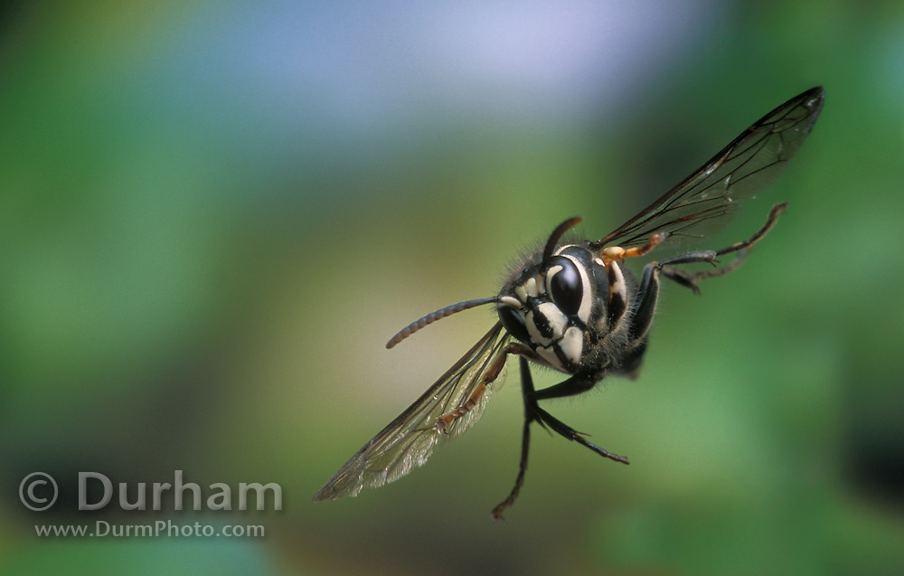 Bald-faced hornet / white-faced hornet (Dolichovespula maculata) photographed in flight in the Mount Hood national Forest, Oregon.