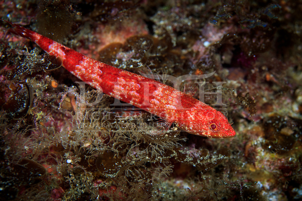 Synodus doaki (Red lizardfish).<br /> Tuesday 06 October 2015.<br /> Photograph Richard Robinson &copy; 2015.<br /> Dive Number: 762.<br /> Site: North Meyer Island, Raoul Island, Kermadec Islands, New Zealand.<br /> Dive Buddy: Steve Hathaway and Charles Bedford.<br /> Boat: Braveheart.<br /> Temperature: 19 degrees.<br /> Rebreather : Inspiration Vision. Total Time On Unit: 367:56.<br /> Maximum Depth: 35.5 meters.<br /> Bottom Time: 74 minutes.<br /> Bottom Time to Date: 42,515  minutes.<br /> Cumulative Time: 42,589 minutes.