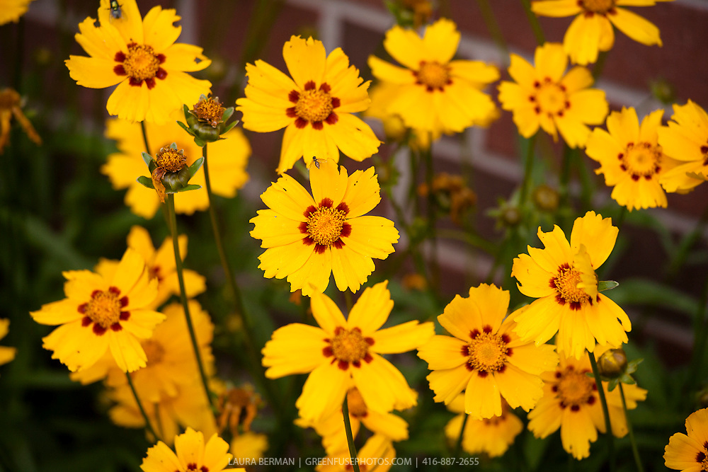 Lanceleaf coreopsis or Tickseed. The selection 'Sterntaler' has large golden-yellow flowers with a mahogany red circle in the centre. (Coreopsis lanceolata 'Sterntaler')