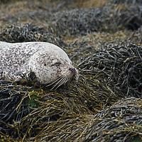 Female common seal or harbour seal, Phoca vitulina, (harbor seal in the US) dozing on egg wrack seaweed covered rocks, Isle of Skye, Western Isles, Scotland.