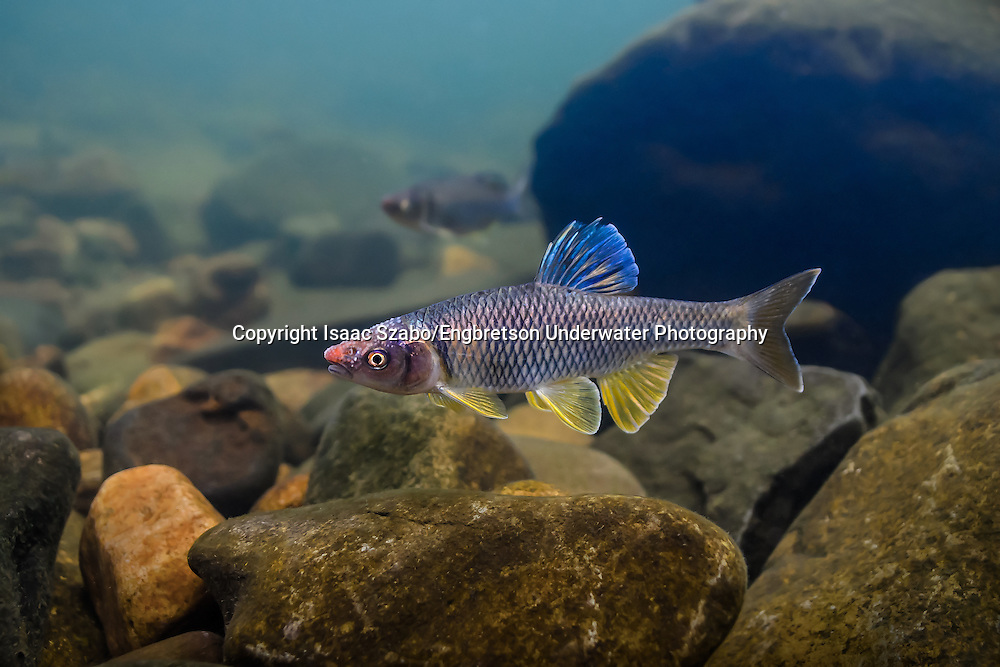 Steelcolor Shiner<br />