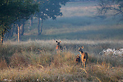 Alert Chital Deer in Kanha National Park, India