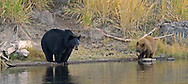 A mother black bear and her cinnamon-phase cub pause for a drink on the Madison River in Yellowstone Park. Although black is the most common coat color for these bears, more than 50% of black bears in the Rocky Mountain states are blonde, brown or cinnamon in color.