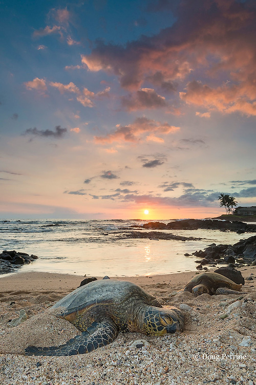 green sea turtles or honu, Chelonia mydas, resting on beach at sunset, Kailua Kona, Hawaii ( the Big Island ), Hawaiian Islands ( Central Pacific Ocean )