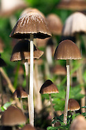 A group of Mycena Mushrooms growing in a garden