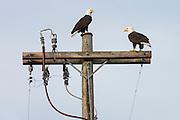 Bald eagles on a power pole, Sequim WA
