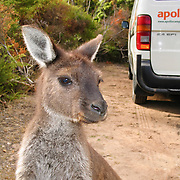 Kangaroo Island Kangaroos (Macropus fuliginosus fuliginosus) roam freely near the Visitor Centre and campground in Flinders Chase National Park, Kangaroo Island, South Australia. Upon landing in 1802, famous explorer Captain Matthew Flinders shot the first Kangaroo Island Kangaroo. Not until the 1990s did taxonomists clarify that it was a subspecies of the Western Grey Kangaroo (Macropus fuliginosus, a large brown marsupial mammal species in the Macropod family, Macropodidae), which lives across the southern part of Australia, from just south of Shark Bay to coastal South Australia, western Victoria, and the entire Murray-Darling Basin in New South Wales and Queensland. It breeds year round with a peak during summer months. Be cautious of kangaroos when driving roads at night.