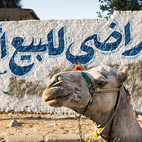 Egypt, Cairo, Setting sun lights tourists' camel resting in alleyway near Great Pyramid of Giza in Sahara Desert