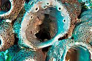 Agelas cerebrum, Grand Cayman